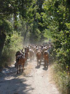 Ziegen auf dem Weg zur Chapelle Saint Laurent